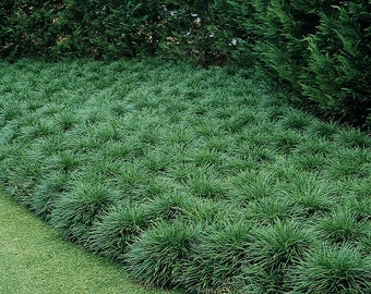 Short Ornamental Grass Black mondo grass plants grown organically 3 4 inch 3 green mondo grass ophiopogon japonicus in 4 inch pot nice and full workwithnaturefo