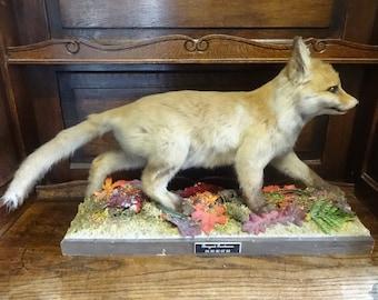 Vintage French Fox Cub Taxidermy Statue Figurine Ornament Decor circa 1980's / English Shop