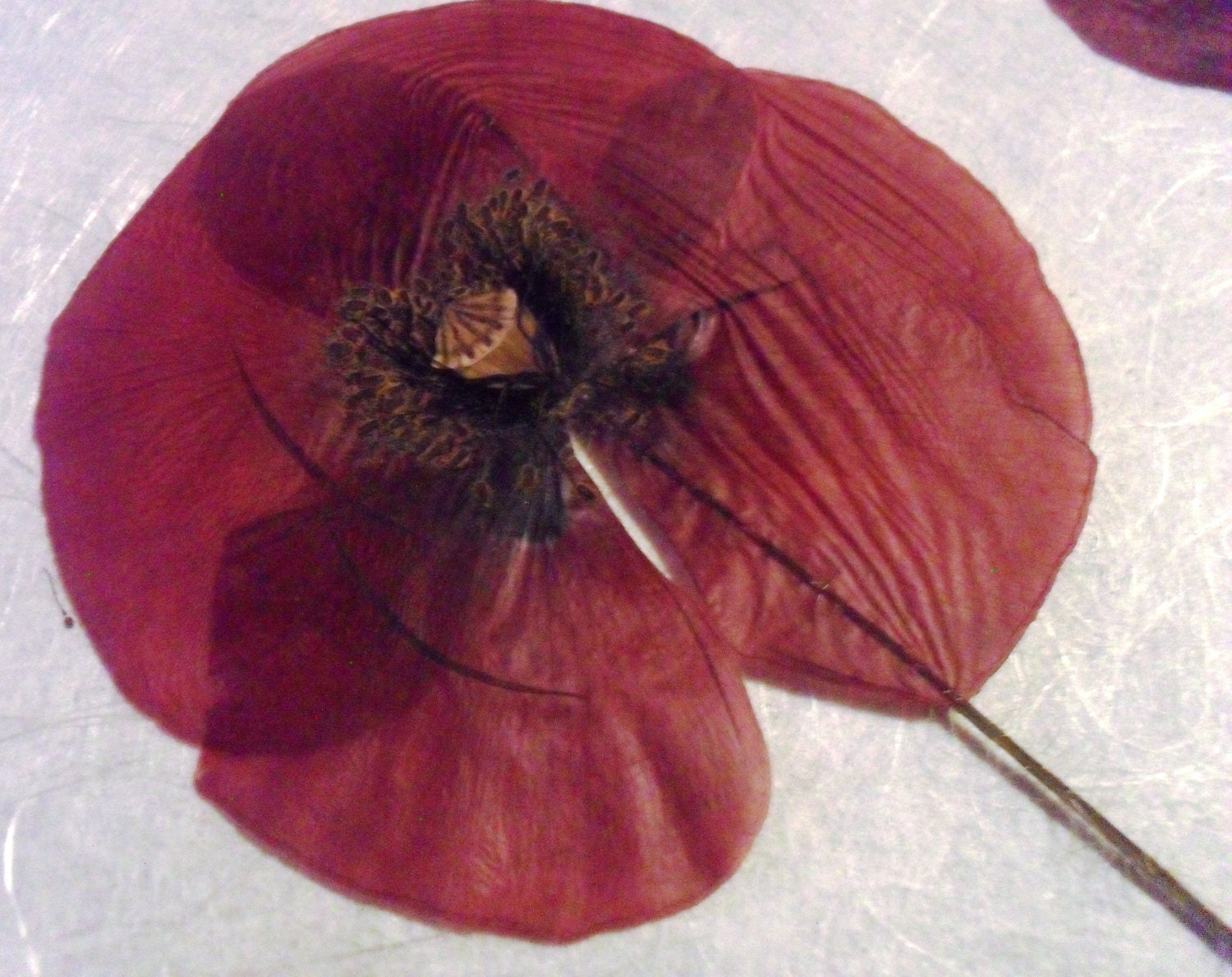 Dried Pressed Flowers / Botanicals. Red Poppy vibrant color.