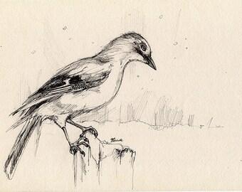 jay, thrush, crow, wild  bird, wildlife, nature art, original pen drawing of a jay in a winter