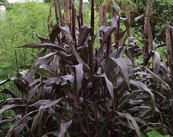Pearl Millet 'Purple Majesty' seeds