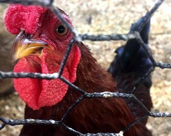 Curious Chicken