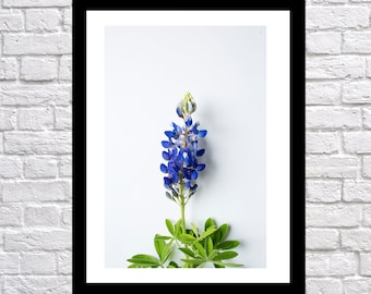 Single Texas Bluebonnet, nature photography, landscape photography, Bluebonnet Art, texas blue bonnet art, bluebonnet photography