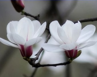 10 fresh SeedsWhite Yulan Magnolia Tree  garden flowers