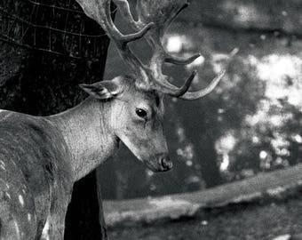 Wildlife Deer: Bambi Fine Art Photography, Animals, Cute, Black and White Photo, Print, animal photography, wildlife