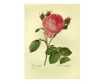 Pink Rose by Redoute Print Book Plate (Clearance Ivory Background)