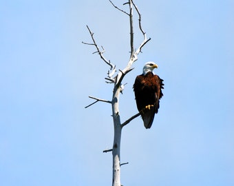 Bald Eagle Print, Nature Photography, Bird Photography, Blue Decor Prints, American Bald Eagle, Wildlife Photography