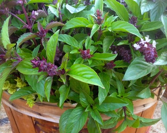 Sweet Thai Basil Culinary Herb Organically Grown Heirloom Easy to Grow Rare Seeds