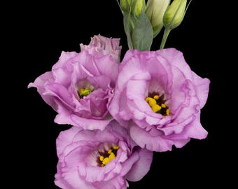 Fresh Lisianthus, Lavender Lisianthus,, wedding Flowers , Flower arrangements, Lavender Wedding Bouquets, lavender weddings