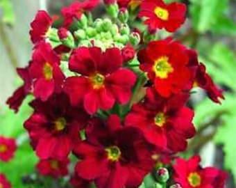 Crimson Fairy Primrose Flower Seeds/Primula Malacoides/Perennial  50+