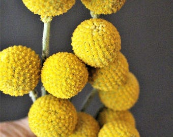 25 Craspedia on shorter stems-Yellow dried flowers-Billy Balls