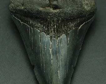 Megalodon Fossil Tooth, South Carolina.