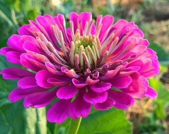 Purple Zinnia Seeds, Benary's Giant Purple, Zinnia Flower Seeds, Great for Urban Gardens and Butterfly Gardens