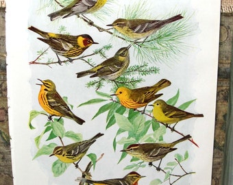 Vintage Book Page, Book Print, Illustration, Bird Print, Lithograph, Color Plate, 1920s Book Page, Bird Art, Warblers, Little Yellow Birds