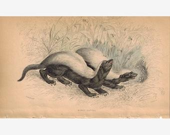 Honey Rattel 1840 Original Hand Colored Engraving Print