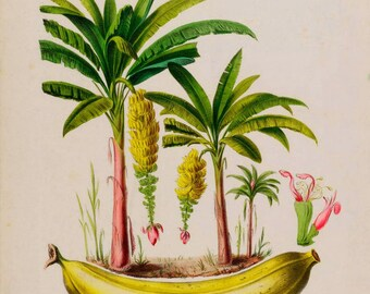 antique french botanical print banana plantain tree illustration digital download