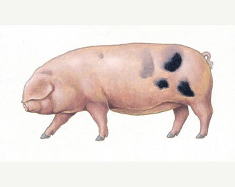 Gloucestershire Old Spot. Original acrylic painting of a pig