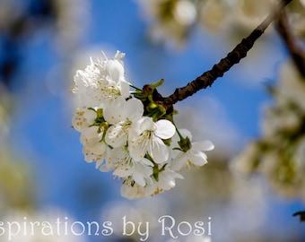 Cherry blossom | Photo print | Photo postcard