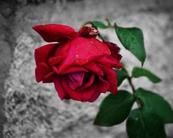 5x7 Blood Red Scottish Rose - Fine Art Photograph - available in other sizes