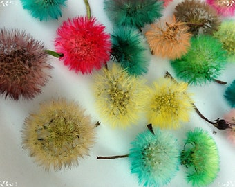 Colored dandelions, Dandelion Heads, Flower dandelions, Floristics, Heads of colored dandelions, Dandelion fluff, Dandelion seeds