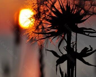Photographie art-déco, une silhouette de pissenlit le matin au lever du soleil : Renaissance - Marie-Ève LaBadie
