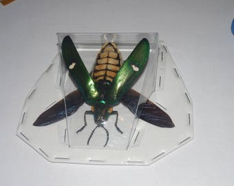 MEGALOXANTHA BICOLOR OTHANII  Spread Winged Beetle Real Insect Taxidermy Fast Ship