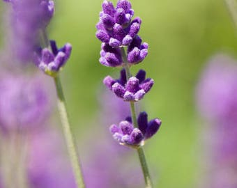 Lavender Essential Oil 40/42  - Scents for soap - Soapmaking - Soap Making Supply