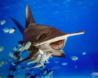 "Aluminum/Canvas Fine Art print of Great Hammerhead Shark titled ""The Laughing Hammer"""