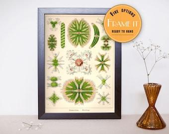 "Vintage illustration by Ernst Haeckel  - framed fine art print, Algae bacteria, Sea life, 8""x10"" ; 11""x14"", FREE SHIPPING - 266"