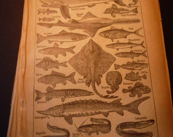 French Lithograph - Fish Poissons - 1920s engraving - original page Petit Larousse Dictionary
