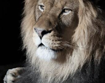 African Lion Print ~ Animal Photography, Lion Wall Art, Lion Photo ~ Nature Print ~ Big Cat Photo ~ Cat Lover Gift ~ Lion King Portrait