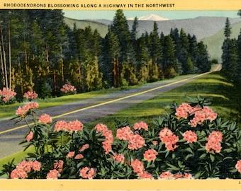 Rhododenrons Blossoming Along Highway in Northwest Botanical Vintage Postcard 1946