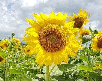 Organic Sunflower Seeds  #SaveThePollinators