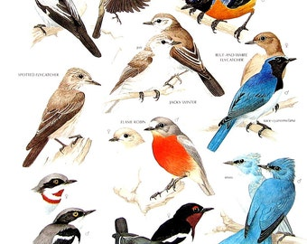 Vintage Bird Print - Pied Flycatcher, Rufous Bellied Niltava, Jacky Winter, Flame Robin, Blue Flycatcher - 1990 Vintage Book Page - 11 x 9