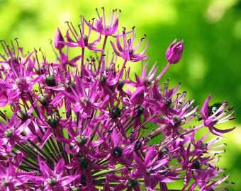 Spring Flower Photography Purple Sensation Allium bright purple lime green floral photo wall decor botanical nature fine art 7x5 10x8