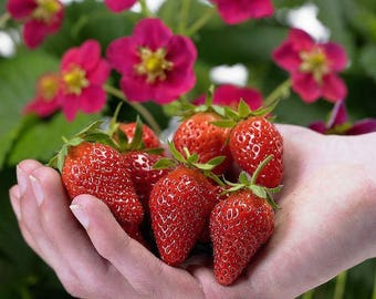 500   Strawberry Seeds  For Growing