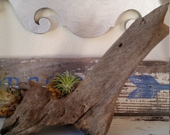 Driftwood planter, Natural Wood,Driftwood Air Planter, Unfinished Wood, Rustic Wood, Beach Wood, ........FREE SHIPPING