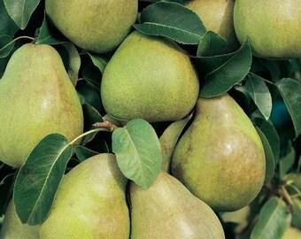 Mini Comice Pear Tree