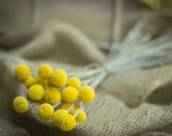 2018 Crop Dried Billy Balls, Dried Craspedia, Dried Flowers, Billy Balls Yellow, Yellow Drumsticks, Vase Filler Flower, Yellow Flower Stems