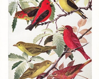 1917 Bird Print - Plate 87 - Scarlet Summer Tanager - Vintage Antique Art Illustration by Louis Agassiz Fuertes 100 Years Old