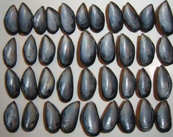 Natural Long Island Atlantic Ocean Shells, Mussel Sea Shells, Mussel Shell Collection, Beach Supplies,Crafts, Jewelry, Beach Decor,