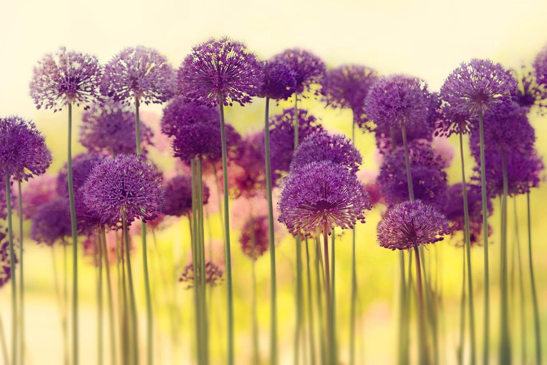 Allium Flowers Art Print Allium Flowers Photography Flower