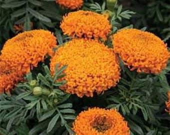 Tall Sierra Orange Marigold Flower Seeds/Tagetes Erecta/Annual    40+