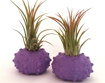 Two Ionantha Air Plants in Purple Sea Urchin Shells / Home Decor / Wedding Favor / Desk Plant / Beach Decor