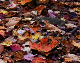 """Nature Photography, Fall Leaves, Autumn, Rustic, Woodland, New England, Earth Tones, 6x9, 8x10 or 8x12. """"Fallen""""."""