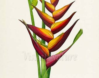 Lobster Claw Flower Art Print, Botanical Art Print, Flower Wall Art, Flower Print, Floral Print, Redoute Art, red, yellow, Heliconia humilis