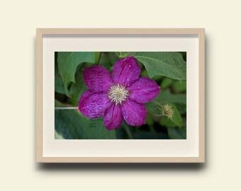 Purple floral print, purple flower print, nature photo print, flower wall art, purple clematis flower, clematis print, nursery wall print