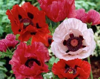Orientale Mix Poppy Flower Seeds/Papaver/Annual  100+
