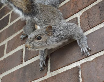 climbing down gray squirrel mount, full body gray squirrel, taxidermy, cabin, lake house, man cave
