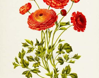 Persian buttercup Botanical Print, Ranunculus Bouquet, Flower Art Print, Flower Wall Art, Floral Art, Garden, orange